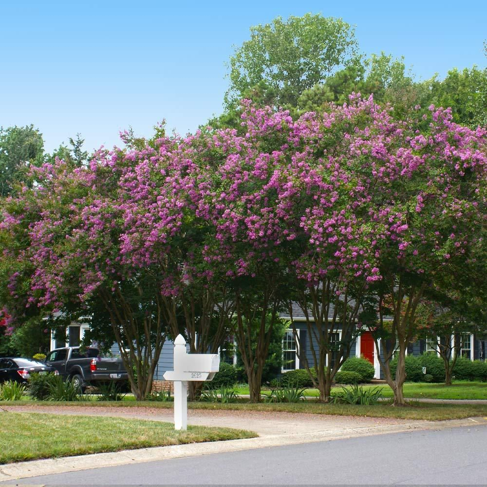 Twilight Crape Myrtle In 2020 Crape Myrtle Fast Growing Trees Growing Tree