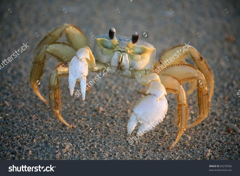 Bilderesultat for sand crab | Crabby Run | Pinterest