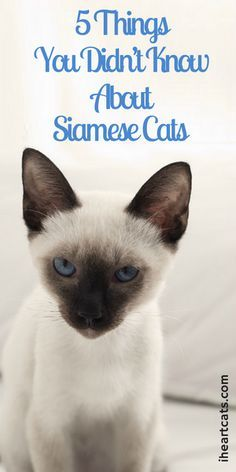 5 Things You Didn T Know About Siamese Cats Cat Facts Siamese Cats Siamese Kittens