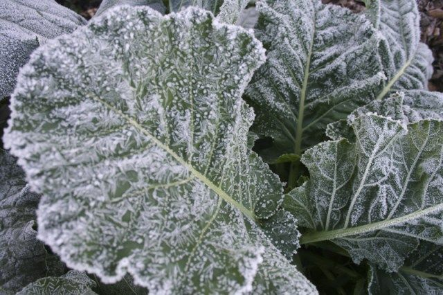 Some Vegetables Are Hardy To Frost And Even Tolerate 640 x 480