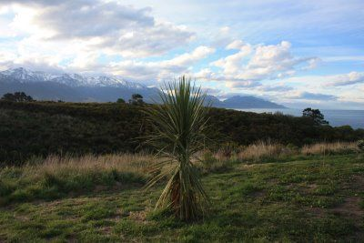 perfect landscape....palm tree, deciduous trees, snow-capped mountains, pacific ocean...kaikoura, new zealand