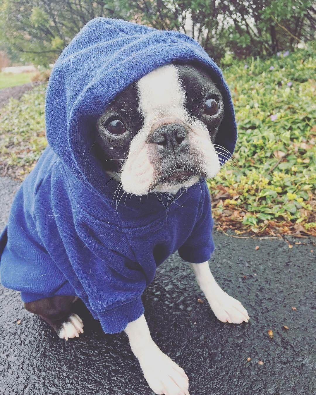 Boston terrier friendly and bright boston terrier pinterest