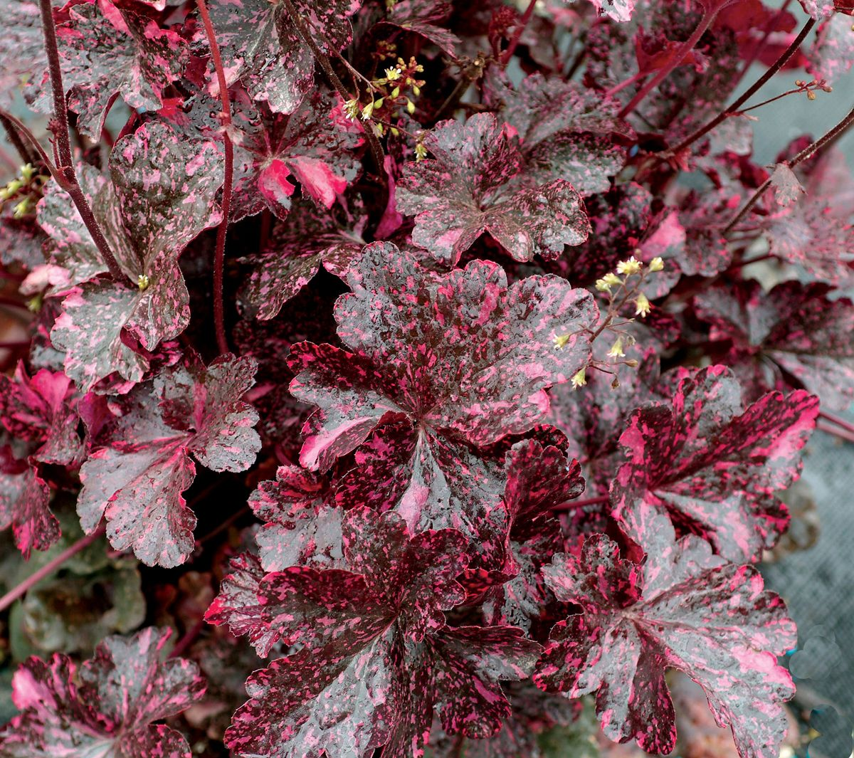 heck of a heuchera extraordiberry from hgtv home plant