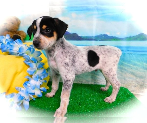 Australian Cattle DogRat Terrier Mix puppy for Sale in