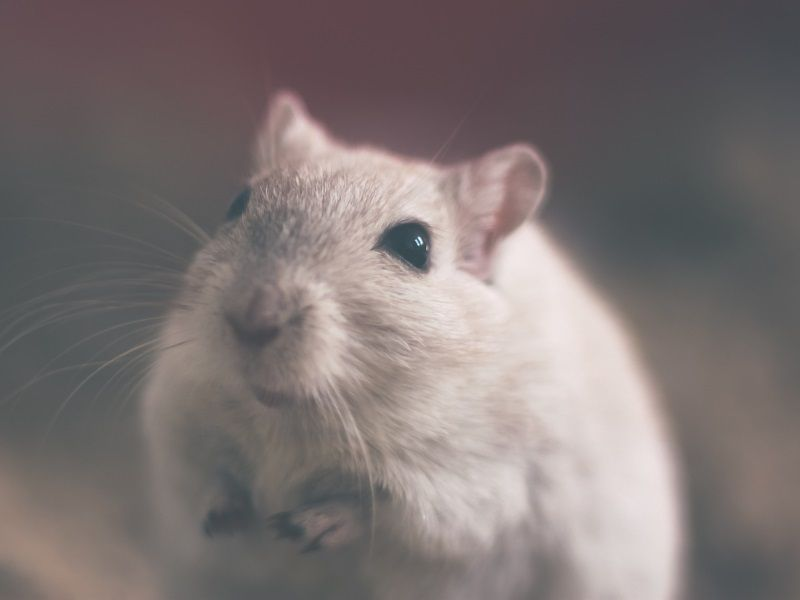 'Super-Smart Mice' May Help Cure Alzheimer's Disease, Schizophrenia