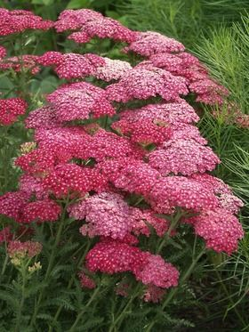 """Yarrow- """"saucy seduction"""" Rosy-pink florets with tiny white eye complement grey-green foliage"""