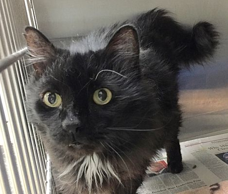 Norwalk Ct Domestic Longhair Meet Wyatt A Pet For Adoption In 2020 Pet Adoption Pets Dog Ages