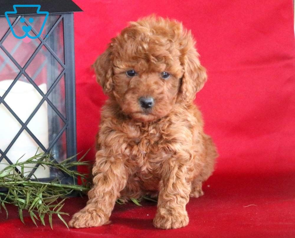 Butterfly Mini Puppies Dog Breeds Puppies