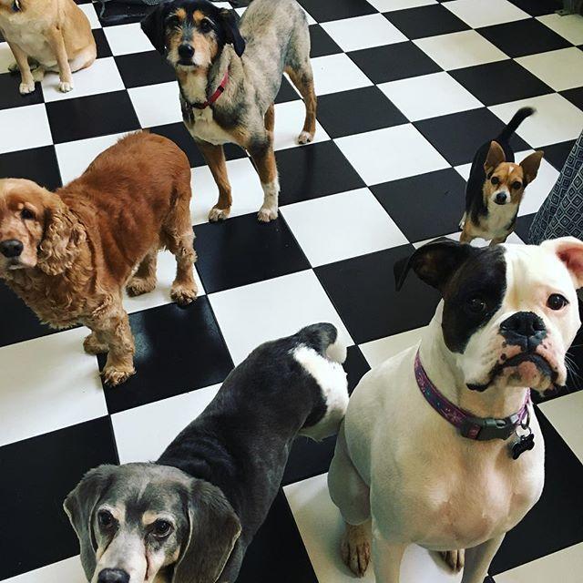 Squad Dogtowncincinnati Doggiedaycare Cincydogs Boxer