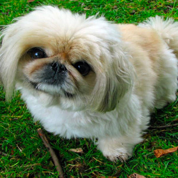 59 Best Small Dog Breeds That Stay Small Forever Best Small Dogs