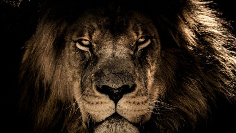 Download 4k Wallpapers Of African Lion Face Closeup 4k 4k Wallpapers 5k Wallpapers Animals Wallpapers Hd Wallpapers African Lion Lion Face Lion Wallpaper