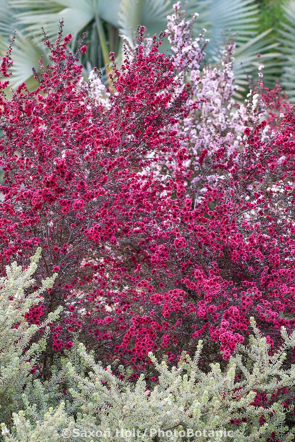 Red magenta flowering drought tolerant shrub leptospermum for Drought tolerant trees