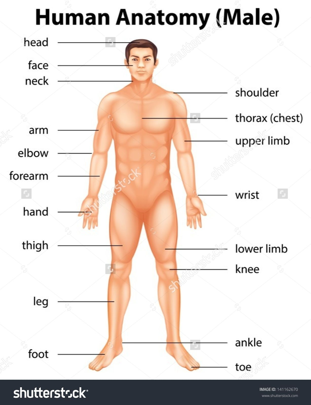 Body Parts Name Of Male Man All Names Anatomy Structure