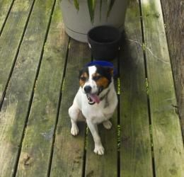 Collins Is An Adoptable Jack Russell Terrier Dog In Columbia Tn