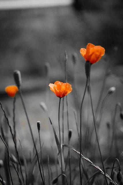 Schwarz Weiss Mit Farbeffekt Black White With Color Effect Mohnblume Poppy Fotografie Blumen Bilder Orange Blumen