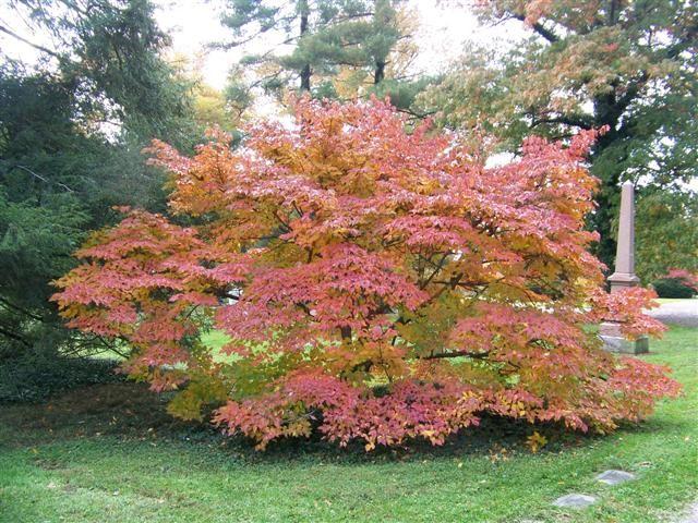 On Plantplaces Com Dogwood Shrub Shrubs Landscape Trees