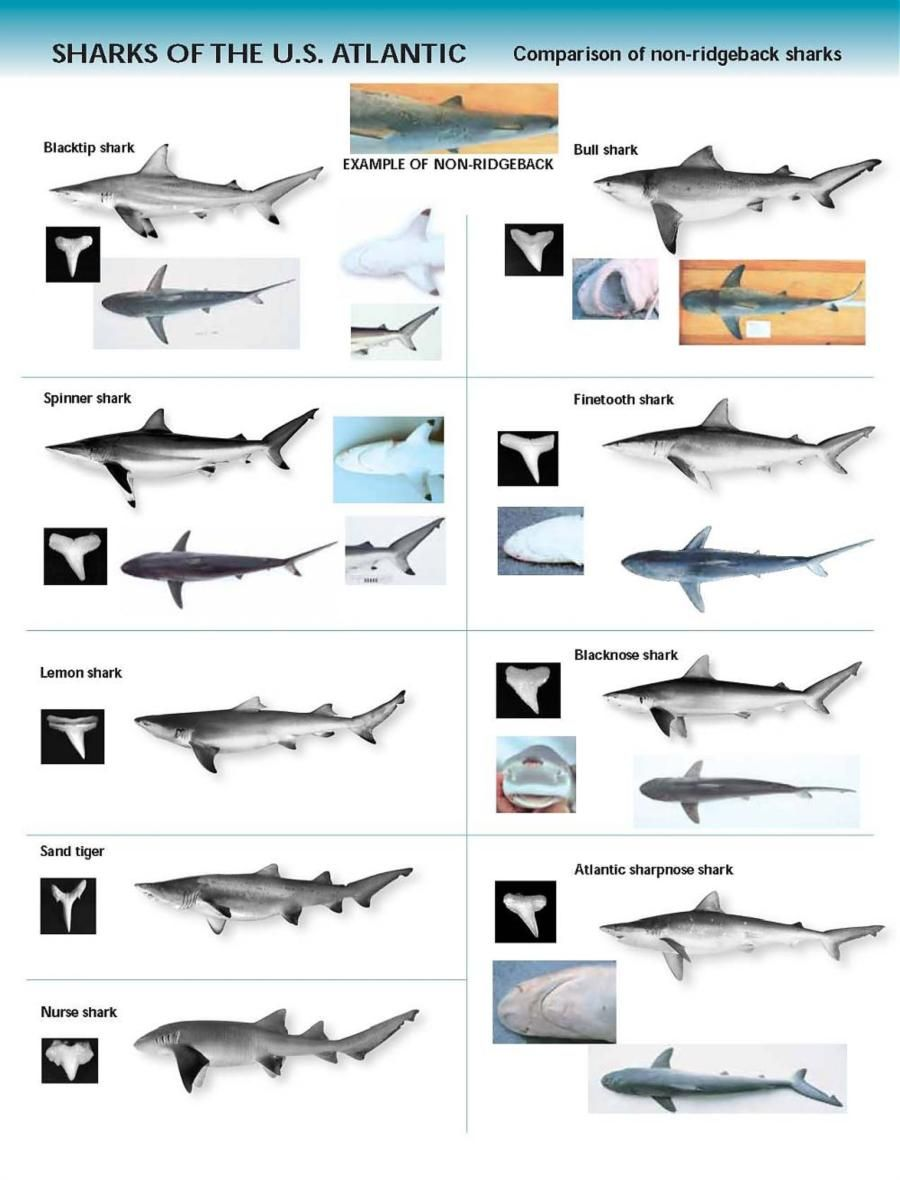 hight resolution of shark indenifaion shark identification chart u s atlantic
