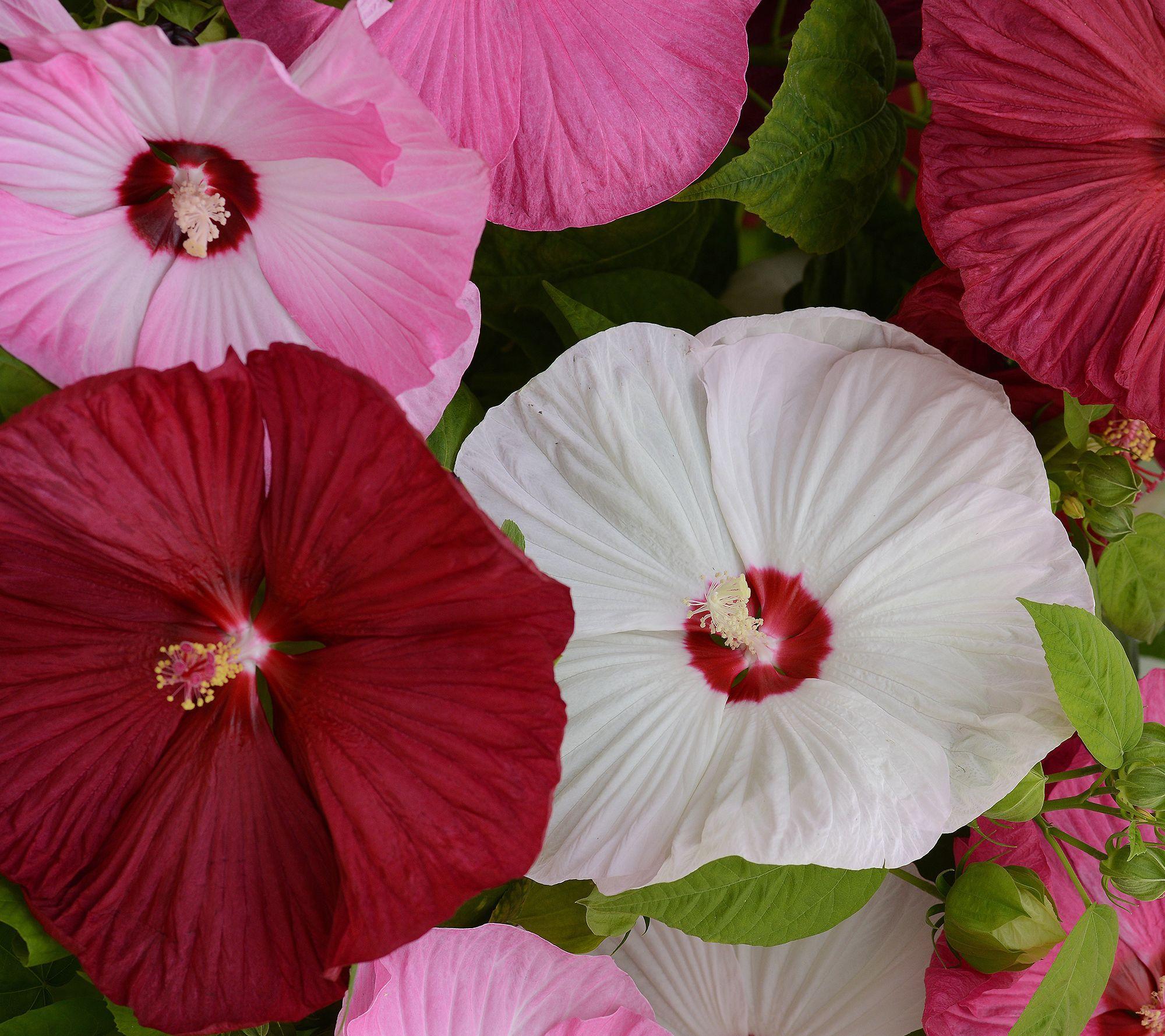 Plant These Beauties To My Garden Qvc Roberta S 2 In 1 Honeymoon