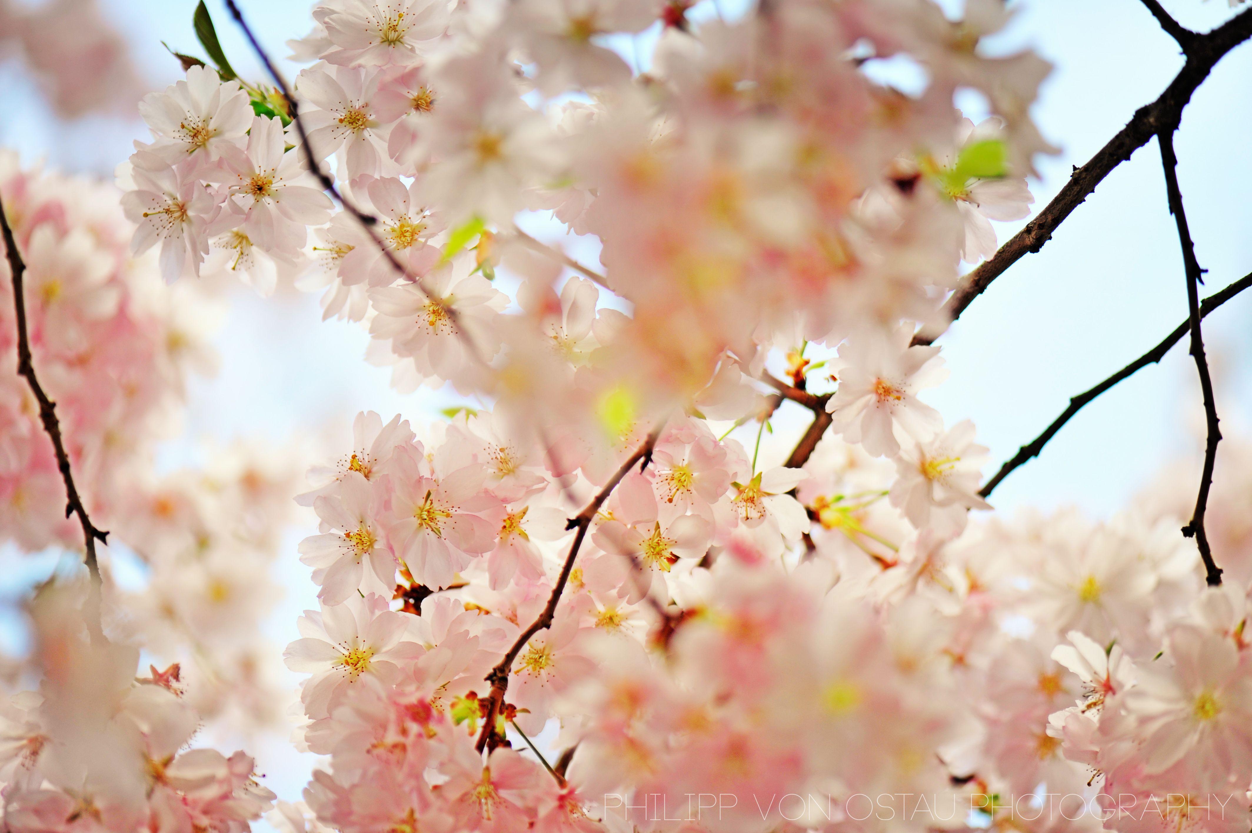 philipp von ostau photography  kirscheblüte - schloß dretzel - sachsen anhalt