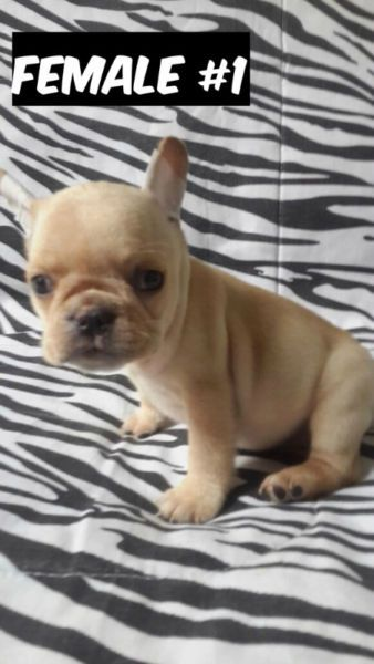FRENCH BULLDOGS dogs, puppies for rehoming Mississauga