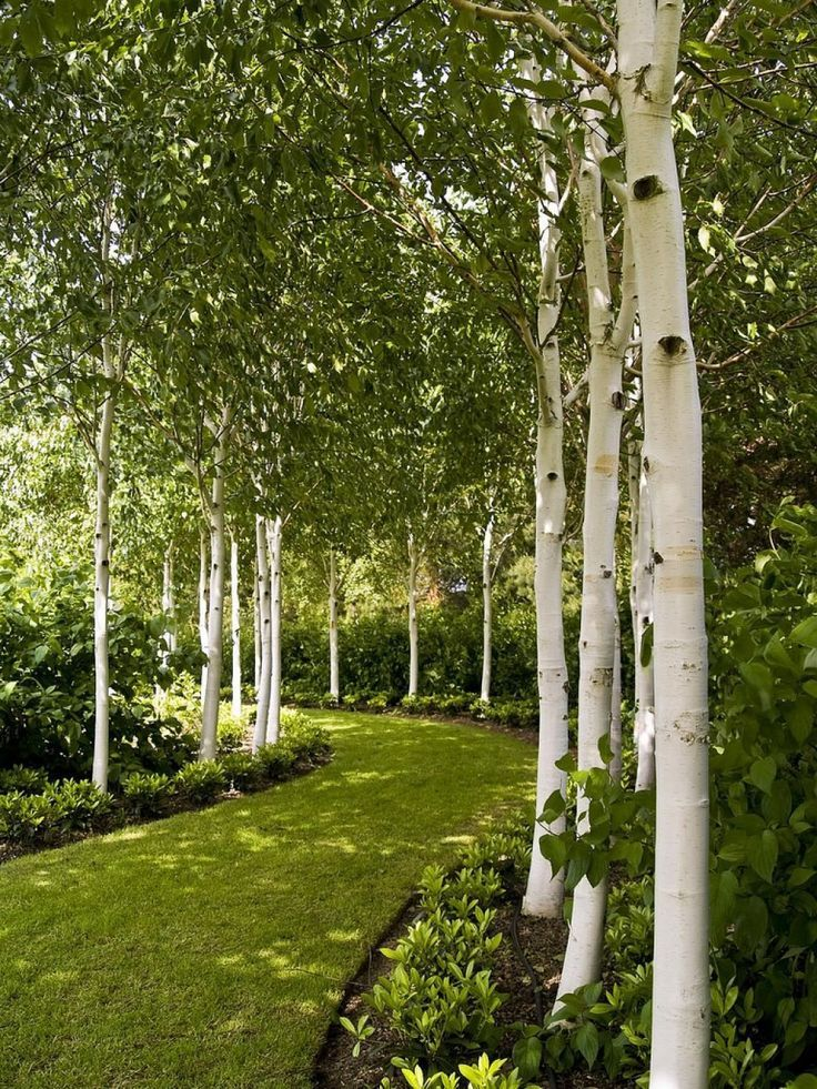 Photo of Enchanting Beauty Birch Trees In Your Garden