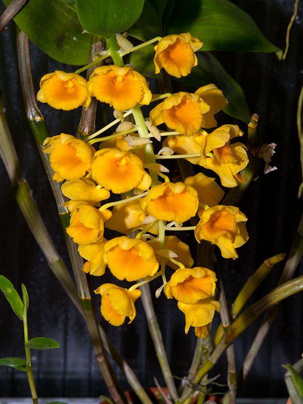 Dendrobium Densiflorum Inflorescence And Bud Clear Mountain Garden Treasures Orquideas