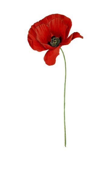 Pin by Yvie Chere on Poppies   Poppies tattoo, Watercolor ...
