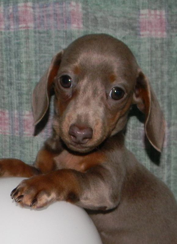 Micro Mini Dachshund Dachshund Love Dachshund Puppies