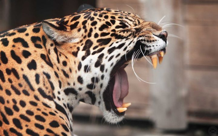An Awesome Wallpaper Of Lazy Leopard For My Android Downloaded From Www Alliswall Com Leopard Pictures Jaguar Animal Pet Birds Leopard roar wallpaper 1920x1080 jpg