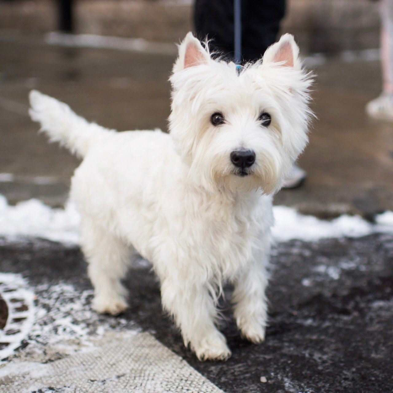 Pet Love Animais West Highland White Terrier Happy Dogs