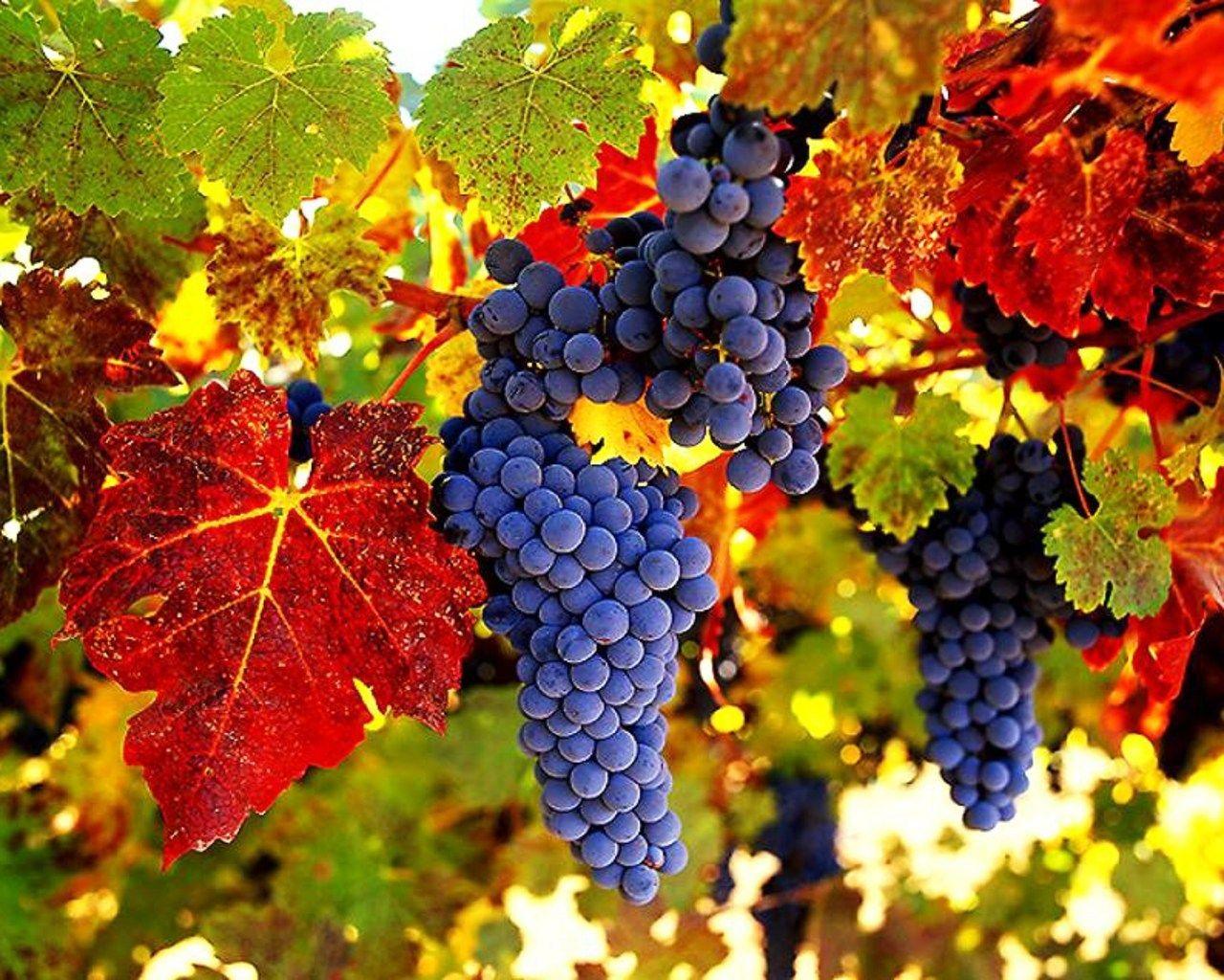 Zapiski Moich Stanow Marzec 2012 Grapes Organic Wine Grape Vines
