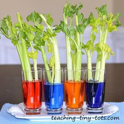 celery experiment by Teaching Tiny Tots Science for