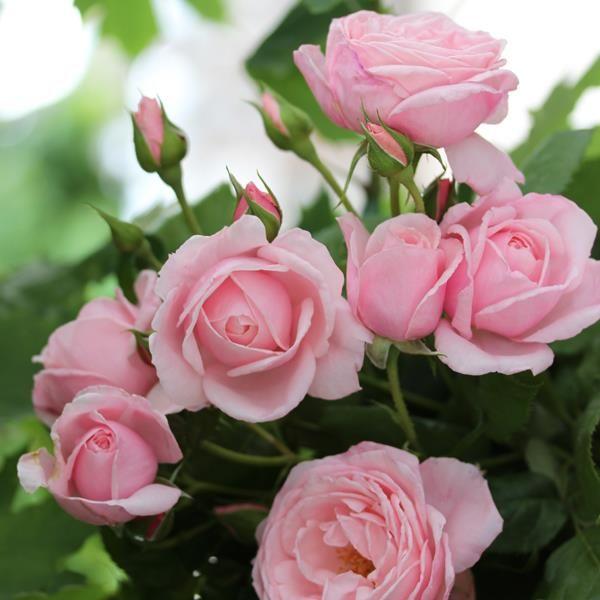 rosier grimpant nah ma delbard la guerre des roses b. Black Bedroom Furniture Sets. Home Design Ideas