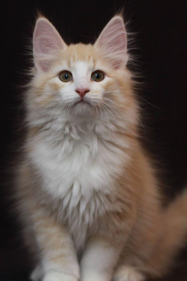 Blonde Beautiful Cats Norwegian Forest Cat Cute Animals