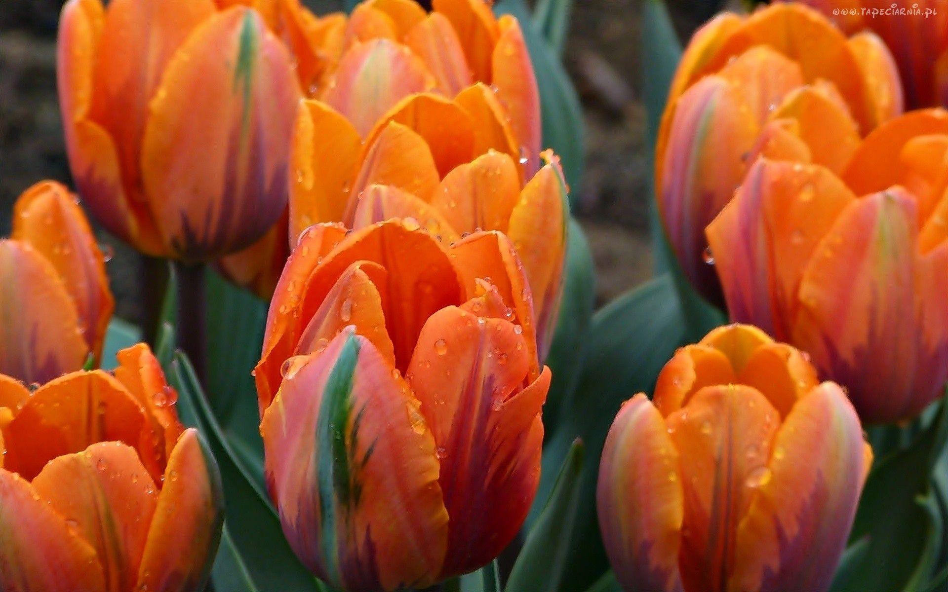 Pomarańczowe, Tulipany