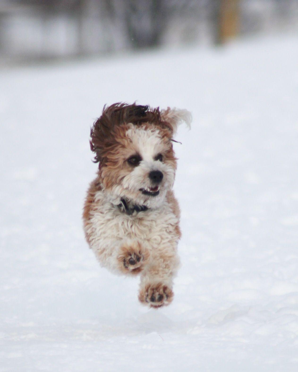 Shichon Snow Fun Zuchon Bichon Shih Tzu Puppies Hunde