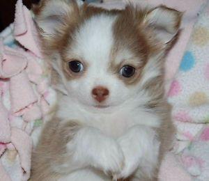 Chihuahua Femelle Lilas Blanche Poil Long Enregistree Ckc Laval