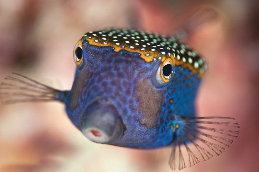 Spotted Boxfish Poisson Marin Tropical Qui A Une Coquille De Plaques Osseuses Entourant Le Corps A Partir Beautiful Sea Creatures Ocean Animals Marine Fish