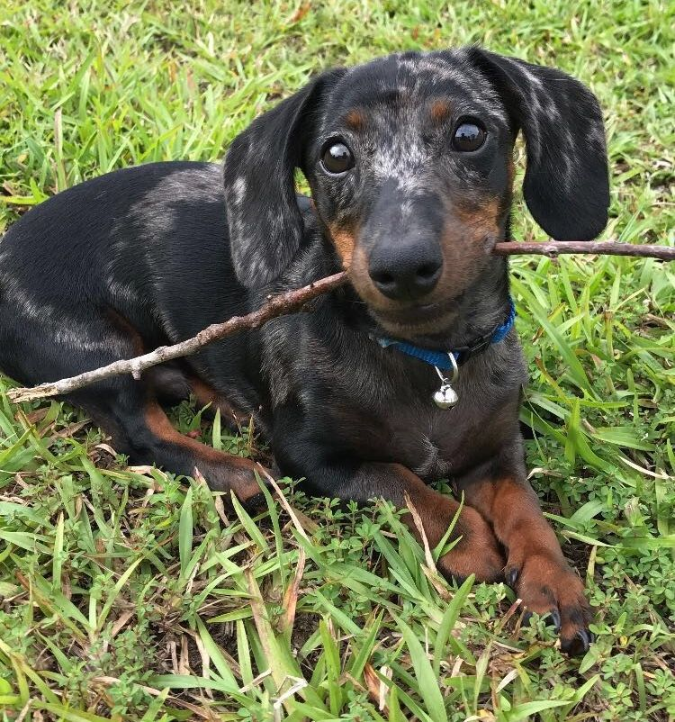 Pin By Doober Supply On Weenie Dogs Weenie Dogs Dachshund Love