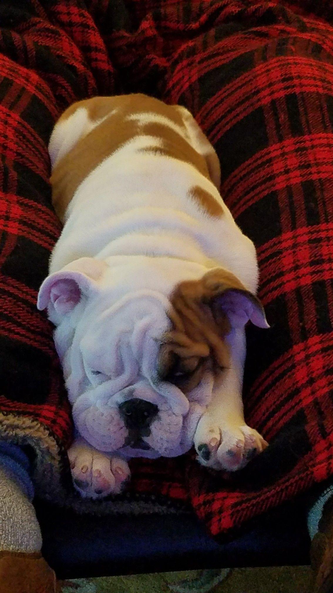 Easy Like Sunday Morning Cute Puppies Cute Animals English Bulldog