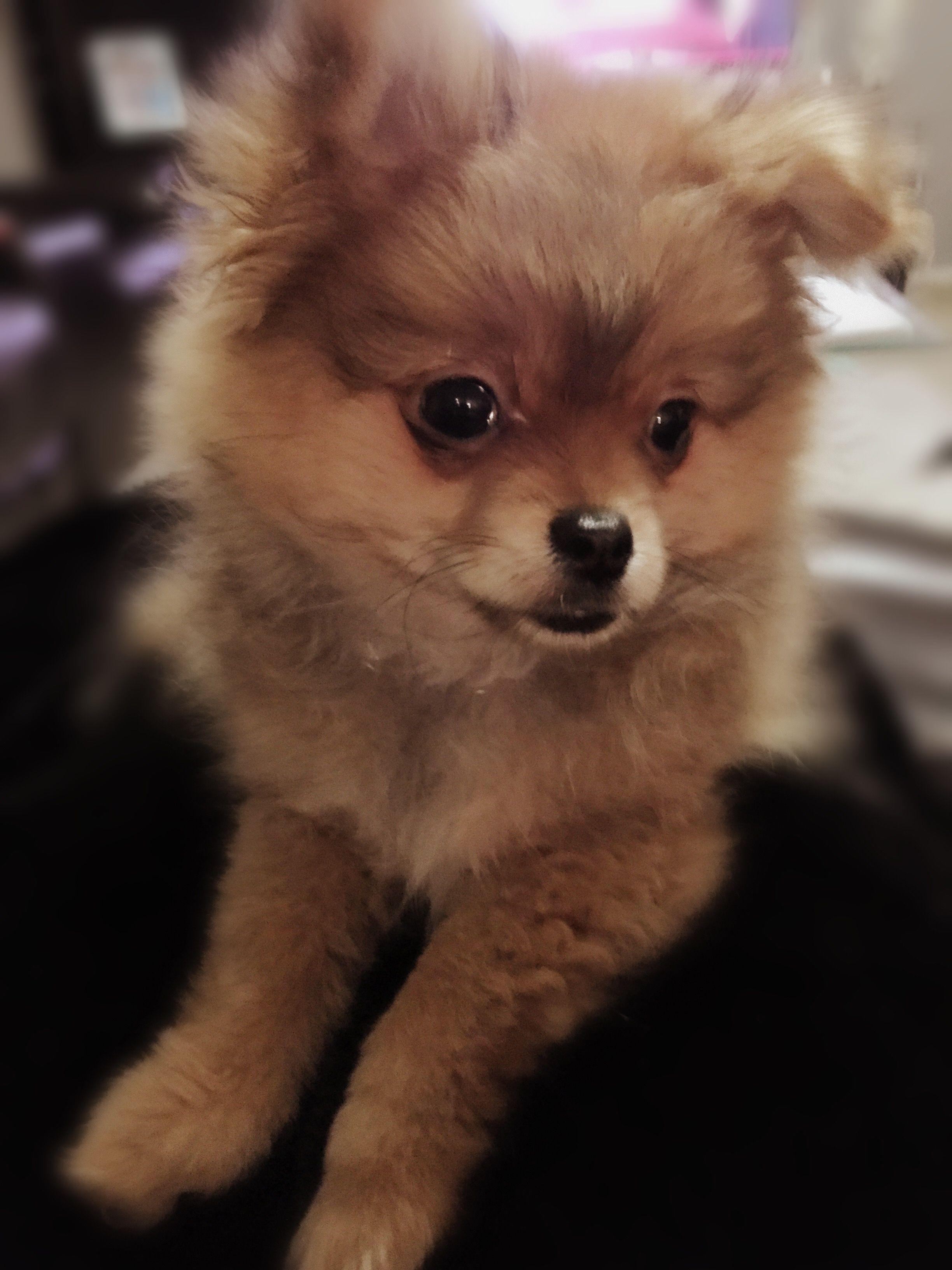 Evil Baby Teacup Pomeranian Puppies Wwwtopsimagescom