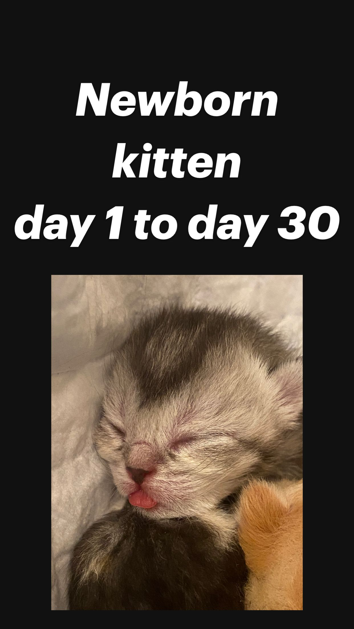 Newborn Kitten Day 1 To Day 30 An Immersive Guide By Cute Cats Overload