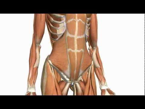 Muscles of the Anterior Abdominal Wall - 3D Anatomy Tutorial ...