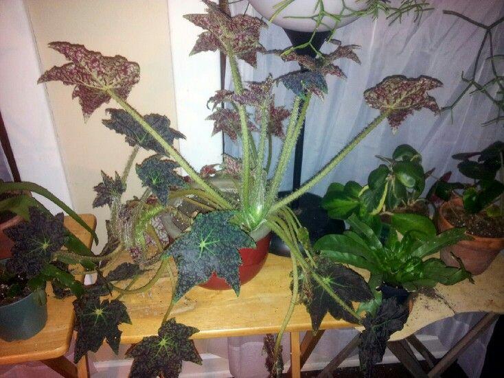 Marmaduke begonia house plant