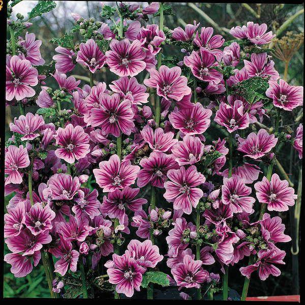 NEW 30 ZEBRA HOLLYHOCK MALVA FLOWER SEEDS PERENNIAL