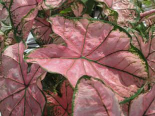pink splash caladiums - information