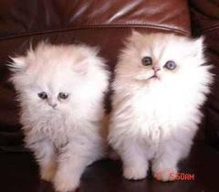 قطط شيرازى شانشيلا للبيع عمر 30 يوم أب وأم مطعمين بتاريخ حديث ألوان أبيض و أبيض فى مشمشى مون فيس بيور مدرب على الحمام ومدرب على نداء الإسـم Cute Cats Pets Cats