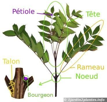 Tige plante recherche google tude botanique pinterest for Recherche plante