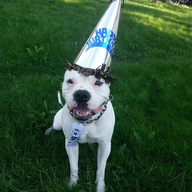 Happy 2nd Birthday American Bulldog Cano American Bulldog Bulldog