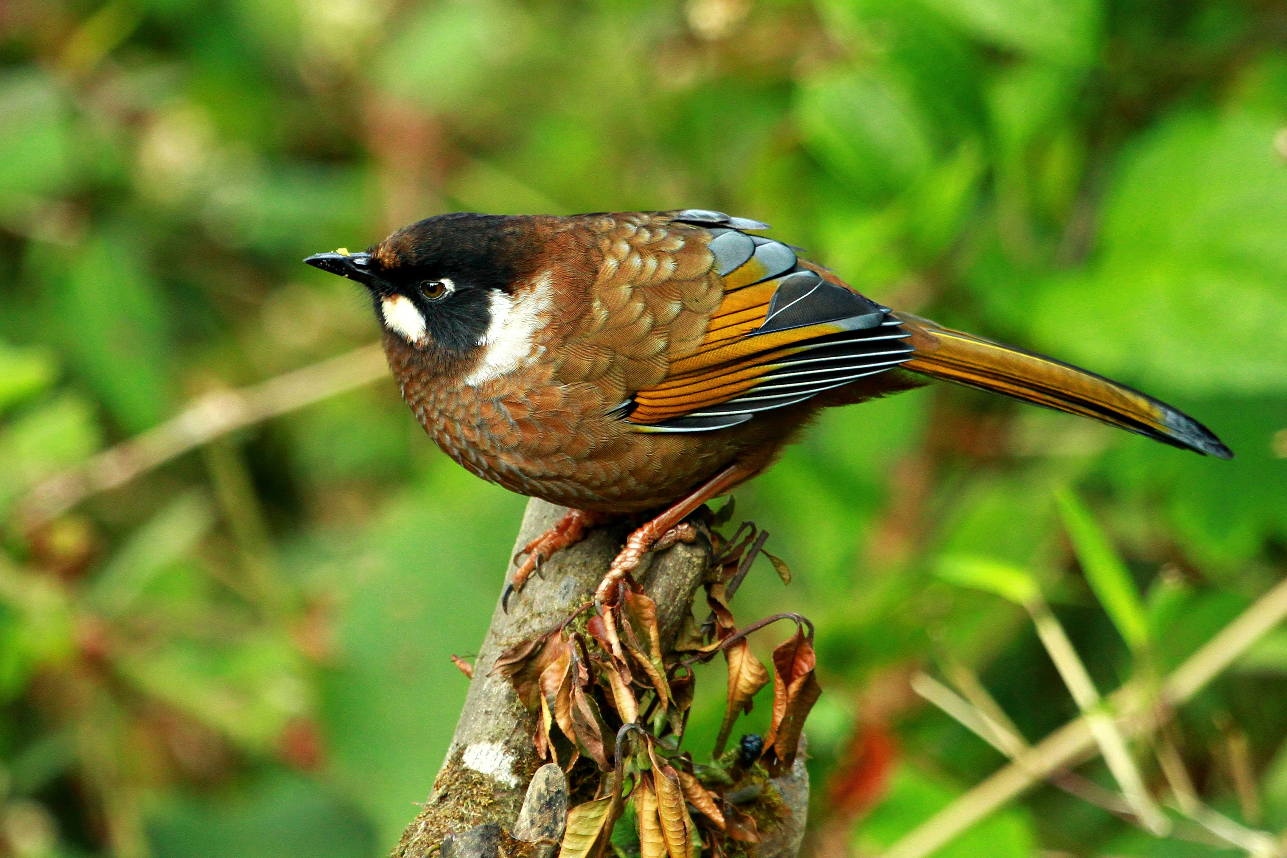 Black Faced Laughing Thrush at Neora Valley National Park